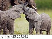 Купить «African elephant infants (Loxodonta africana)playing. Masai Mara Nationa Reserve, Kenya. March», фото № 25355692, снято 16 июля 2020 г. (c) Nature Picture Library / Фотобанк Лори