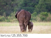 Купить «Female African elephant (Loxodonta africana) and infant walking away - rear view, Masai Mara National Reserve, Kenya. March», фото № 25355700, снято 26 февраля 2020 г. (c) Nature Picture Library / Фотобанк Лори