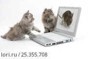 Купить «Two Maine Coon kittens looking at an image of a mouse on a laptop computer.», фото № 25355708, снято 5 декабря 2019 г. (c) Nature Picture Library / Фотобанк Лори