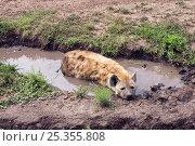Купить «Spotted hyena (Crocuta crocuta) cooling itself in a small pool of water. Masai Mara National Reserve, Kenya. February», фото № 25355808, снято 11 июля 2020 г. (c) Nature Picture Library / Фотобанк Лори