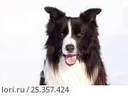 Купить «Border Collie in snow, portrait, panting, Illinois, USA», фото № 25357424, снято 18 декабря 2018 г. (c) Nature Picture Library / Фотобанк Лори