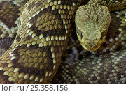 Купить «Western diamondback rattlesnake {Crotalus atrox} captive, from Texas; USA;», фото № 25358156, снято 22 октября 2018 г. (c) Nature Picture Library / Фотобанк Лори