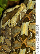 Rhinoceros Viper / adder {Bitis nasicornis} skin patterns, captive, from Africa. Стоковое фото, фотограф Edwin Giesbers / Nature Picture Library / Фотобанк Лори