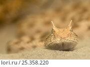 Купить «RF- Horned viper (Cerastes cerastes) head portrait on sand, from North Africa, captive.», фото № 25358220, снято 22 сентября 2018 г. (c) Nature Picture Library / Фотобанк Лори