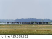 Купить «Horses with herdsman riding one in the distance blurry due to a mirage (fata morgana) Hortobagy National Park, Hungary, July 2009», фото № 25358852, снято 23 июля 2018 г. (c) Nature Picture Library / Фотобанк Лори