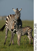 Buchell's zebra (Equus quagga) mother with newborn foal, Masai Mara, Kenya. Стоковое фото, фотограф Andy Rouse / Nature Picture Library / Фотобанк Лори