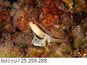 Striped blenny (Parablennius rouxi) Larvotto Marine Reserve, Monaco, Mediterranean Sea, July 2009. Стоковое фото, фотограф Wild Wonders of Europe / Banfi / Nature Picture Library / Фотобанк Лори