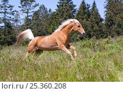 Купить «Palomino horse galloping through meadow, Fort Bragg, California, USA», фото № 25360208, снято 27 апреля 2018 г. (c) Nature Picture Library / Фотобанк Лори