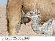 Купить «Dromedary / Arabian camel {Camelus dromedarius} calf at udder ready to drink, Oman», фото № 25360348, снято 16 июля 2018 г. (c) Nature Picture Library / Фотобанк Лори