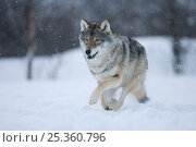 Купить «European grey wolf (Canis lupus) running through snow in birch forest, Tromso, Norway, captive, April», фото № 25360796, снято 15 июля 2018 г. (c) Nature Picture Library / Фотобанк Лори