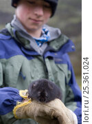 Researcher examines an Upland water vole (Arvicola terrestris) as part of Cairngorms Water Vole Conservation Project, Scotland, UK, July 2008. Стоковое фото, фотограф Pete Cairns / Nature Picture Library / Фотобанк Лори