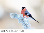 Купить «Bullfinch (pyrrhula pyrhula) sitting on snow covered twig, Kuusamo, Finland, January», фото № 25361128, снято 1 января 2019 г. (c) Nature Picture Library / Фотобанк Лори