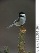 Black capped chickadee (Poecile atricapillus) perched on conifer,... Стоковое фото, фотограф John Cancalosi / Nature Picture Library / Фотобанк Лори