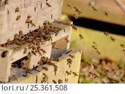 Купить «Honey Bees (Apis mellifera) returning to bee hive, Berwickshire, Scotland, UK, February», фото № 25361508, снято 18 августа 2018 г. (c) Nature Picture Library / Фотобанк Лори