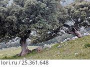 Holm Oak trees (Quercus ilex) in Sierra de Grazalema Natural Park, Andalusia, Spain. Стоковое фото, фотограф Angelo Gandolfi / Nature Picture Library / Фотобанк Лори