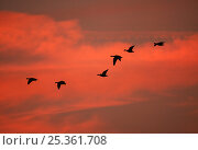 Six Greylag geese (Anser anser) skane flying to roost at sunset, Martin Mere WWT, Lancashire, UK. Стоковое фото, фотограф Andy Rouse / Nature Picture Library / Фотобанк Лори