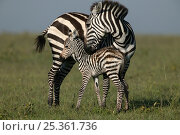 Common / Burchell's zebra (Equus quagga) mother with newborn foal, Masai Mara, Kenya. Стоковое фото, фотограф Andy Rouse / Nature Picture Library / Фотобанк Лори
