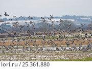 Купить «Flock of Wood pigeons (Columba palumbus) taking flight from arable field, Hertfordshire, UK, February», фото № 25361880, снято 19 августа 2018 г. (c) Nature Picture Library / Фотобанк Лори