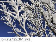 Купить «Frost covered vegetation, Ballon des Vosges Nature Park, Vosges, Lorraine, France, December 2008», фото № 25361972, снято 19 июля 2018 г. (c) Nature Picture Library / Фотобанк Лори