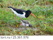 Oystercatcher (Haematopus ostralegus) adult and chick, Texel, the Netherlands. Стоковое фото, фотограф Bernard Castelein / Nature Picture Library / Фотобанк Лори