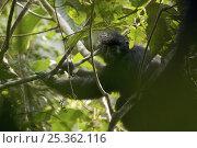 Купить «Bioko Black Colobus (Colobus satanas satanas) in rainforest of Bioko Island, Equatorial Guinea, Endangered Species, January», фото № 25362116, снято 21 января 2020 г. (c) Nature Picture Library / Фотобанк Лори