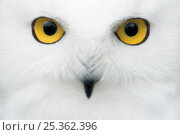 Snowy owl (Nyctea scandiaca) close-up of face, captive. Стоковое фото, фотограф Edwin Giesbers / Nature Picture Library / Фотобанк Лори