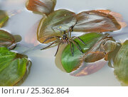 Купить «Raft spider (Dolomedes fimbriatus) on water, UK», фото № 25362864, снято 10 декабря 2018 г. (c) Nature Picture Library / Фотобанк Лори