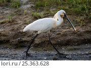 Eurasian / White Spoonbill (Platalea leucorodia) walking, Texel, the Netherlands. Стоковое фото, фотограф Bernard Castelein / Nature Picture Library / Фотобанк Лори