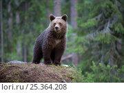 Купить «RF- European brown bear (Ursus arctos) cub portrait, Finland. June.», фото № 25364208, снято 22 февраля 2019 г. (c) Nature Picture Library / Фотобанк Лори