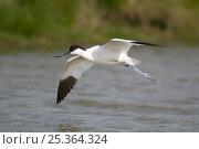 Avocet (Recurvirostra avosetta) in flight over water, Texel, the Netherlands. Стоковое фото, фотограф Bernard Castelein / Nature Picture Library / Фотобанк Лори