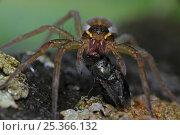 Купить «Raft spider (Dolomedes spp) feeding on a fly, New York, USA», фото № 25366132, снято 25 сентября 2018 г. (c) Nature Picture Library / Фотобанк Лори