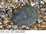 Купить «Variegated scallop (Chlamys / Mimachlamys varia) on beach, Belgium», фото № 25366420, снято 16 августа 2018 г. (c) Nature Picture Library / Фотобанк Лори