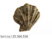 Купить «Scallop shell {Flexopecten flexuosus} Belgium», фото № 25366536, снято 16 августа 2018 г. (c) Nature Picture Library / Фотобанк Лори