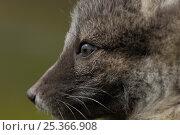 Купить «Arctic fox (Alopex lagopus)  head portriat, summer, Stekenjokk, Jämtland, Sweden.», фото № 25366908, снято 18 марта 2019 г. (c) Nature Picture Library / Фотобанк Лори