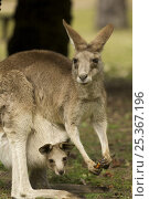 Купить «Female Eastern grey kangaroo (Macropus giganteus) eating Cycad fruit, with joey looking out of pouch, Carnarvon National Park, Queensland, Australia», фото № 25367196, снято 26 мая 2018 г. (c) Nature Picture Library / Фотобанк Лори