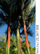 Купить «Sealing wax palm trees (Cyrtostachys renda)  native to Malaysia, growing on Tortuga Beach, Costa Rica», фото № 25367908, снято 21 октября 2018 г. (c) Nature Picture Library / Фотобанк Лори