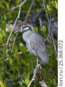 Yellow-crowned night heron (Nyctanassa violacea), Sanibel Island, Florida, USA. Стоковое фото, фотограф Adrian Davies / Nature Picture Library / Фотобанк Лори