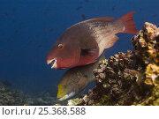 Купить «Bicolor parrotfish (Scarus rubroviolaceus) off Wolf Island, Galapagos Islands», фото № 25368588, снято 10 июля 2020 г. (c) Nature Picture Library / Фотобанк Лори