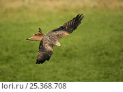 Купить «Red kite (Milvus milvus) in flight, about to pick up food from the ground, Wales, UK, October», фото № 25368708, снято 24 сентября 2018 г. (c) Nature Picture Library / Фотобанк Лори