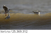Купить «Three Black headed gulls (Chroicocephalus ridibundus) one flying, two on wave, Filey, Yorkshire, UK», фото № 25369312, снято 20 июля 2018 г. (c) Nature Picture Library / Фотобанк Лори