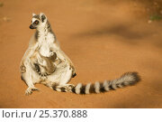 Купить «Ring-tailed Lemur (Lemur catta) female with suckling baby 'sunning' in the early morning light. Berenty Private Reserve, Madagascar. Oct 2008.», фото № 25370888, снято 21 сентября 2018 г. (c) Nature Picture Library / Фотобанк Лори