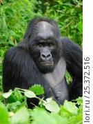 Купить «Portrait of male silverback Mountain gorilla (Gorilla beringei beringei) Virunga National Park, Democratic Republic of Congo, Africa, March 2009», фото № 25372516, снято 17 ноября 2019 г. (c) Nature Picture Library / Фотобанк Лори