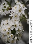 Купить «Cherry tree {Prunus / Cerasus avium} in flower, Russia», фото № 25372944, снято 24 сентября 2018 г. (c) Nature Picture Library / Фотобанк Лори