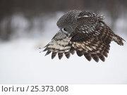 Female Great grey owl (Strix nebulosa) in flight, Oulu, Finland, February 2009. Стоковое фото, фотограф Wild Wonders of Europe / Zacek / Nature Picture Library / Фотобанк Лори