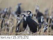 Common / Great cormorants (Phalacrocorax carbo sinensis) at nest site, Oosterdijk, Enkhuizen, Ijsselmeer, Netherlands, March 2009. Стоковое фото, фотограф Wild Wonders of Europe / Möllers / Nature Picture Library / Фотобанк Лори