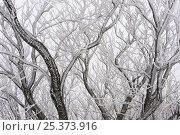 Купить «Frost covered branches, Ballon des Vosges Nature Park, Haut Rhin, Alsace, France, December 2008», фото № 25373916, снято 20 апреля 2018 г. (c) Nature Picture Library / Фотобанк Лори