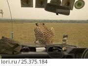 Купить «Rear view of Cheetah (Acinonyx jubatus) known as Kike (featured in the BBC Big Cat Diary) on bonnet of safari vehicle, Masai Mara, Kenya (non-ex)», фото № 25375184, снято 23 июля 2018 г. (c) Nature Picture Library / Фотобанк Лори