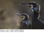 Common / Great cormorant (Phalacrocorax carbo sinensis) profile, Oosterdijk, Enkhuizen, Ijsselmeer, Netherlands, March 2009. Стоковое фото, фотограф Wild Wonders of Europe / Möllers / Nature Picture Library / Фотобанк Лори