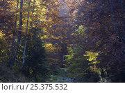 Купить «Deciduous forest in autumn, Piatra Craiului National Park, Transylvania, Southern Carpathian Mountains, Romania, October 2008», фото № 25375532, снято 17 августа 2018 г. (c) Nature Picture Library / Фотобанк Лори