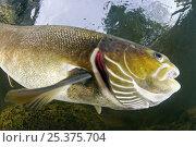 Купить «Atlantic salmon (Salmo salar) with gills visible, River Orkla, Norway, September 2008», фото № 25375704, снято 21 августа 2018 г. (c) Nature Picture Library / Фотобанк Лори